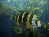 Zebra seabream; Diplodus cervinus. Lateral view of young animal. Composite image. Portugal.. Composite image