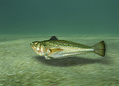 Petite vive (Echiichthys vipera) nageant au dessus du fond. Image composite. Image composite