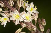 Asphodelus albus, White asphodel, flowers. Photographed with visible light. Portugal