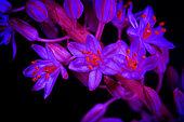 Asphodelus albus, White asphodel, flowers. Showing fluorescent colors when photographed ultraviolet light. Portugal