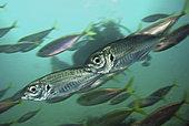 Atlantic horse mackerel, Trachurus trachurus. School. Composite image. Azores, Portugal.. Composite image