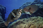 Parrotfish, Sparisoma cretense. Two males fighting. They stay like this, mouth to mouth, for a wile pushing each other. Formigas, Azores. Portugal.