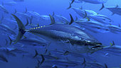 Bigeye tuna (Thunnus obesus). Composite image. Madeira, Portugal.. Composite image