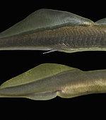 European brook lamprey, Lampetra planeri. Sexual dimorphism. Female bellow. Portugal