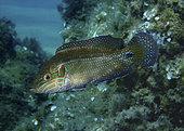 Wrasse, Symphodus ocellatus. Male. Composite image. Portugal.. Composite image