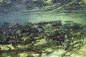 Truite arc-en-ciel (Oncorhynchus mykiss) dans un bassin de reproduction. Serra da Estrela. Portugal