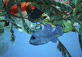 Baliste rude (Canthidermis maculata) caché au milieu des déchets plastiques, Océan Atlantique, Portugal. Image composite