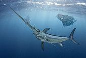 Swordfish (Xiphias gladius), Hunting sardines. Composite image. Portugal.. Composite image
