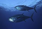 Atlantic bluefin tuna (Thunnus thynnus), Composite image. Portugal. Composite image