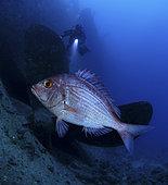 Denté angolais (Dentex angolensis) sur épave et plongeur, Océan Atlantique, Portugal