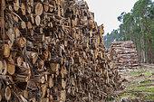 Tas de grumes dans une plantation d'eucalyptus à destination de l'industrie papetière, Portugal