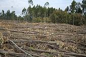 Coupe à blanc d'une plantation d'eucalyptus à destination de l'industrie papetière, Portugal