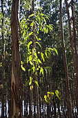 Eucalyptus tree. Commercial plantation for manufacture of paper pulp. Portugal