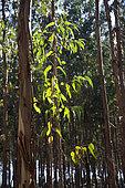Plantation d'eucalyptus à destination de l'industrie papetière, Portugal