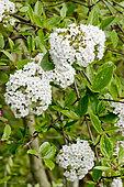 Viburnum x burkwoodii 'Anne Russel'
