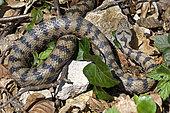 Vipère aspic (Vipera aspis) se réchauffant au printemps, Doubs (25), Franche-Comté, France
