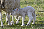 Ewe and Lamb in the meadow, Doubs (25), Franche-Comté, France