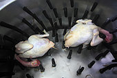 Organic chickens after slaughter in a plumage machine, Provence, France