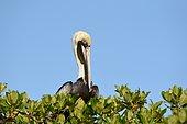 Brown Pelican (Pelecanus occidentalis) on the Mangrove, Punta Allen, Sian Ka'an Reserve, Yucatan Peninsula, Mexico