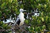 Magnificent Frigatebirds (Fregata magnificens) young at nest, Yucatan Peninsula, Mexico