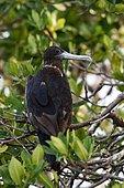 Magnificent Frigatebirds (Fregata magnificens) on a branch, Yucatan Peninsula, Mexico