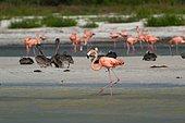 American Flamingo (Phoenicopterus ruber ruber) on the shore, Caribbean Sea, Holbox island, Yucatan Peninsula, Mexico