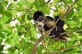 Yucatán Spider Monkey (Ateles geoffroyi yucatanensis) on a tree, Yucatan peninsula, Mexiqco
