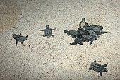 Hawksbill (Eretmochelys imbricata) newborns emerging from the sand, Tulum, Yucatan Peninsula, Mexico