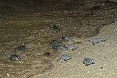 Hawksbill (Eretmochelys imbricata) newborns entering the sea, Tulum, Yucatan Peninsula, Mexico