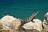 Black spiny-tailed iguana (Ctenosaura similis) at the edge of the Caribbean Sea, Yuacatan Peninsula, Mexico