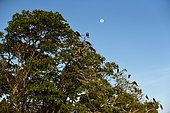 Magnificent Frigatebirds (Fregata magnificens) on a tree, Sian Ka'an Reserve, Yucatan Peninsula, Mexico