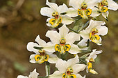 Gavilea longibracteata, Orchidaceae endemic to Chile, Parque nacional La Campana, V Region of Valparaiso, Chile