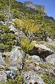 Chinese Lantern (Misodendrum punctulatum), Misodendraceae, semi-parasitic False Beech (Nothofagus) plant, Balmaceda Mountain Sector, Bernardo O'Higgins National Park, XII Magallanes and Chilean Antarctic Region