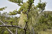 "Chinese Lantern (Misodendrum punctulatum), Misodendraceae, semi-parasitic plant on Antarctic Beech or ""Nire"" (Nothofagus antarctica), Torres del Paine National Park, XII Magallanes Region and Chilean Antarctic"