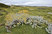 Patagonian Senecio (Senecio patagonicus), Asteraceae, on a carpet of Azorelle or Cushion of the Andes (Azorella trifurcata), Reserva natural Seno Otway, around Punta Arenas, XII Magallanes region and Chilean Antarctic