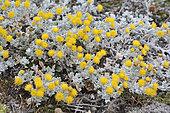 Patagonian Senecio (Senecio patagonicus), Asteraceae, Reserva natural Seno Otway, around Punta Arenas, XII Magallanes region and Chilean Antarctic
