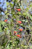 Chilean Nasturtium (Tropaeolum tricolor), Tropaeolaceae, endemic to Chile, Parque nacional La Campana, V Valparaiso Region, Chile