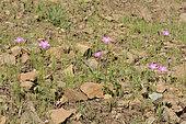 Shamrock (Oxalis rosea), Oxalidaceae endemic to Chile, Parque nacional La Campana, V Region of Valparaiso, Chile