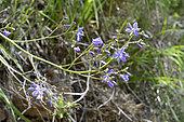 Azulillo (Pasithea coerulea), Asphodelaceae endemic to Chile and Peru, Parque nacional La Campana, V Region of Valparaiso, Chile