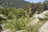 Diablada or Ortiga brava (Loasa tricolor), Loasaceae, endemic urticating plant of Chile, Palmas de Ocoa Sector, La Campana National Park, V Region of Valparaiso, Chile