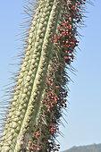 Quintral del Quisco (Tristerix aphyllus), fruiting on cactus (Echinopsis chiloensis), Loranthaceae cactus parasite, Palmas de Ocoa Sector, La Campana National Park, V Valparaiso Region, Chile