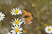 Mariposa Pintada (Yramea cytheris), Lepidoptera Nymphalidae, Cajón Grande Area, La Campana National Park, V Valparaiso Region, Chile