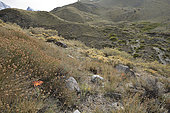 Flor de granada (Mutisia subulata form rosmarinifolia), Asteraceae endemic to Chile, flower in its environment, Monumento Natural El Morado, Cajón del Maipo, Santiago Metropolitan Region, Chile