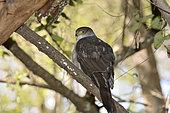 Chilean Hawk (Accipiter chilensis)Parque nacional La Campana, V Region de Valparaiso, Chili /