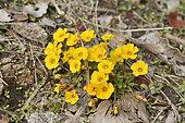 May flower (Oxalis perdicaria), Oxalidaceae, Flowering in autumn, Parque nacional La Campana, V Region of Valparaiso, Chile