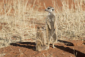 Meerkat or suricate (Suricata suricatta), adult and young, Kalahari Desert, South African Republic