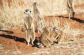 Meerkat or suricate (Suricata suricatta), adults and youngs playing, Kalahari Desert, South African Republic