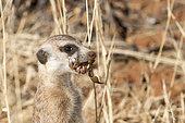 Meerkat or suricate (Suricata suricatta), adult eating a scorpion, Kalahari Desert, South African Republic