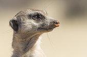 Meerkat or suricate (Suricata suricatta), adult, Kalahari Desert, South African Republic