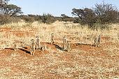 Meerkat or suricate (Suricata suricatta), adults and youngs, Kalahari Desert, South African Republic